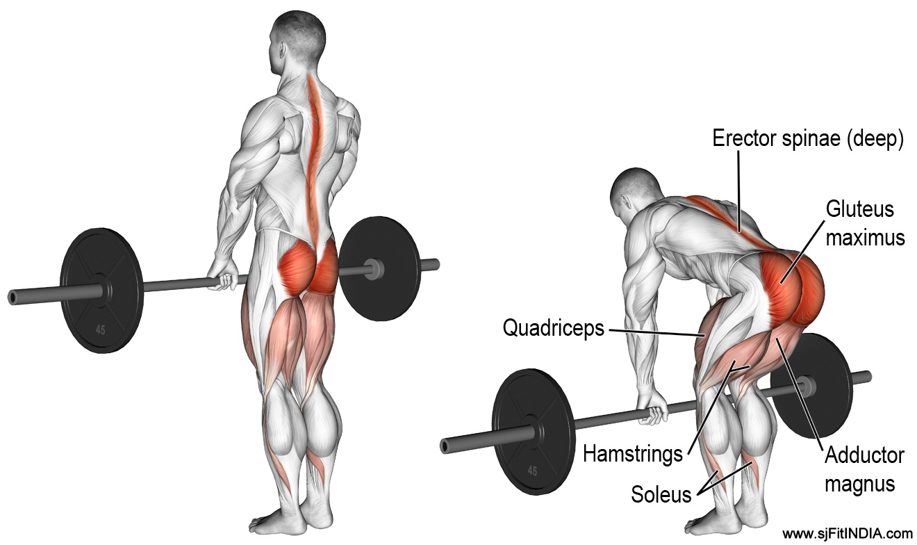 The Barbell Deadlift